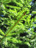 Green Pine Tree. Royalty Free Stock Photo