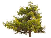 Green pine tree isolated Royalty Free Stock Photo