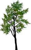 Green pine tree isolated on white Stock Photos