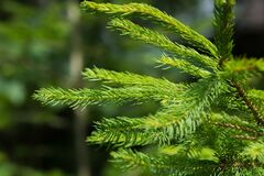 Green Pine Tree Leaf Closeup Photography during Daytime Stock Photos