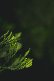 Green Pine Tree Leaves Royalty Free Stock Photo