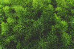 Green Pine Tree Leaves Stock Images
