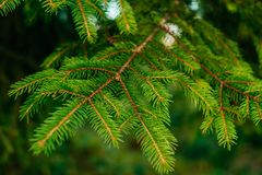 Green pine-tree leaves texture Stock Images