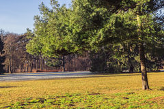 Green pine tree on meadow park. Green pine on meadow park Royalty Free Stock Image