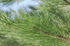 Green pine tree part on sunny day in the city street. And blue sky Royalty Free Stock Photos
