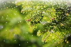 Green Pine Tree Royalty Free Stock Photography