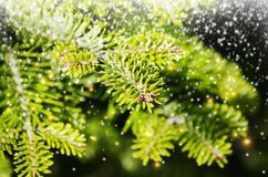 Green Pine Tree Royalty Free Stock Photos