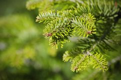 Green Pine Tree Stock Images