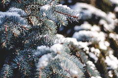 Green Pine Tree With Snow Stock Image