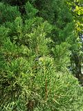 Green Pine tree. In the tropical garden Stock Photo