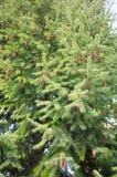 Green pine tree Stock Photos