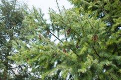 Green pine tree Royalty Free Stock Photography