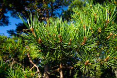 Green pine trees Stock Photos