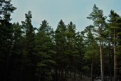 Green Pine Trees Royalty Free Stock Image