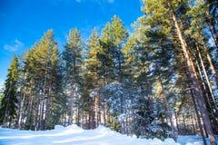 Green pine trees against vibrant blue sky stock images