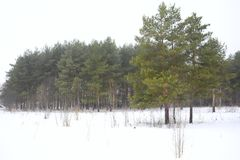 Green pine trees against the white snow. Field of snow overcast sky. Green needles of the pine branches. Winter forest landscape. Green pine trees against the Stock Image