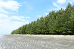 Green pine trees. Along the black beach at  blue sky of the day Royalty Free Stock Photo