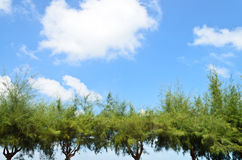 Green pine trees with blue sky Stock Photos