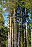 Green pine trees  on the blue sky Stock Photography