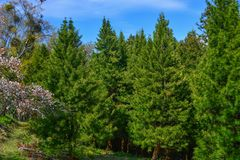 Green pine trees in forest. Green pine trees at forest in Nara, Japan royalty free stock photos