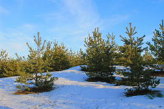 Green pine trees in the forest Stock Images
