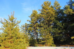 Green pine trees in the forest Stock Photos