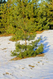 Green pine trees in forest on winter Stock Photos