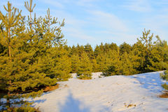 Green pine trees in forest on winter Stock Images