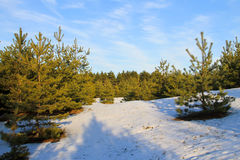 Green pine trees in forest on winter Stock Photography