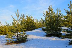 Green pine trees in forest on winter Royalty Free Stock Photo