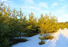 Green pine trees in forest on winter Royalty Free Stock Images