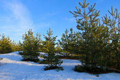 Green pine trees in forest on winter Royalty Free Stock Photos