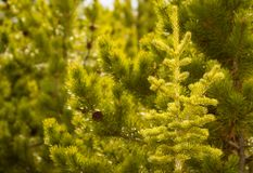 Green Pine Trees Forest Background. Green Pine Trees Lush Forest Background Stock Photo