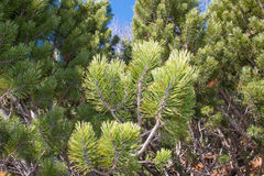 Green pine trees Stock Photography