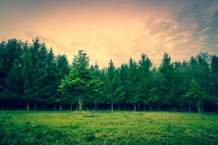 Green pine trees on a row Stock Image
