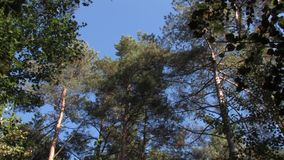 Green pine trees sway against the blue sky. Pine trees,blue sky,sway agains stock video