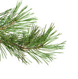 Green pine twig Royalty Free Stock Images