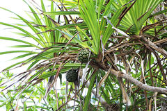 Green pineapple fruit on the tree Stock Image