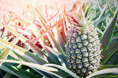 Green Pineapple plantation in summer day Royalty Free Stock Photography