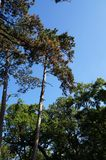 Green pines on blue sky background Royalty Free Stock Image