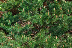 Green pines, cones, branches, background Stock Photos
