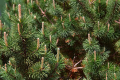 Green pines and cones closup Stock Image