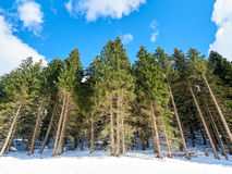 Green Pines Snow Royalty Free Stock Photo
