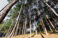 Green pines Stock Image