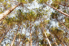 Green pines Royalty Free Stock Photography