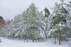 Green pines under white snow in the forest and an iron barrier stock image