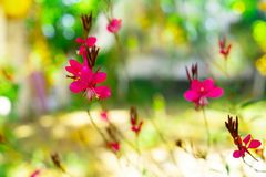 Green and pink bokeh out of focus background from gaura lindheimeri royalty free stock photo