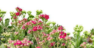Green and pink flowers Stock Photography