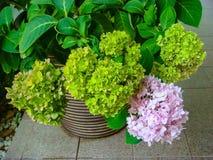 Green&Pink hortensi kwiat obraz stock