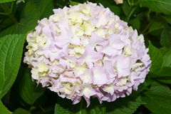 Green-pink hortensia Stock Images